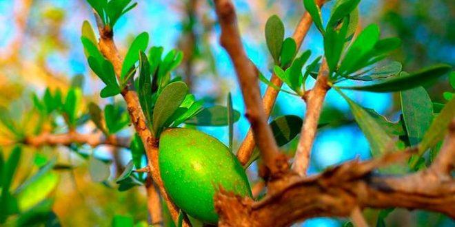 Maroc projet plantation arganiers