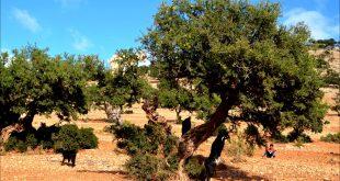 Maroc : plantation de 2.205 ha arganiers dans le cadre du projet Dared