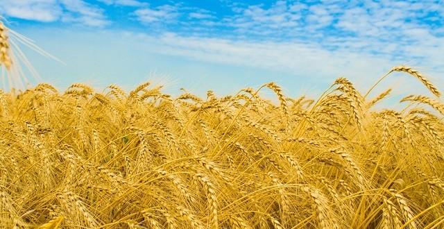 Le blé américain s'exporte avec succès