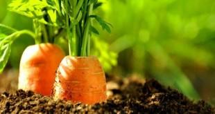 Astuces pour prévenir la mouche de la carotte