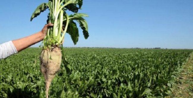 Betteraves à sucre : Un record d'un million de tonnes est attendu à Béni Mellal-Khénifra