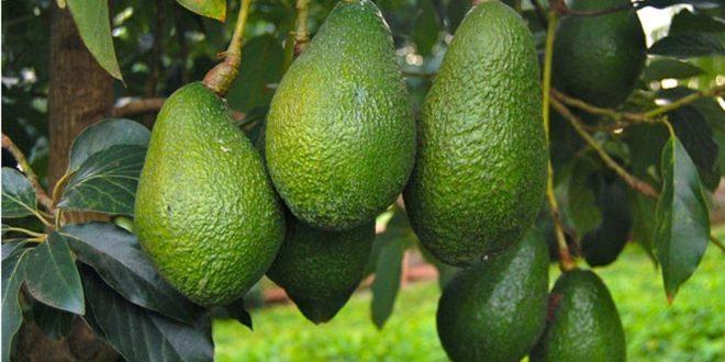 Avocats : Le Maroc trace sa voie en Europe et triple ses exportations