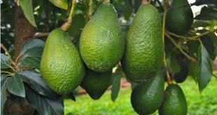 Bonnes performances de la filière arboricole fruitière à Rabat-Salé-Kénitra