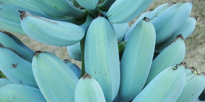La banane bleue de Java, la nouvelle variété de bananes à la mode