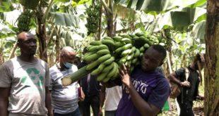 Production de bananes : la Turquie soutient un projet en Guinée