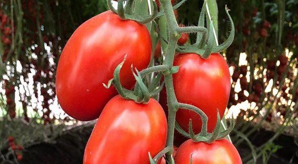 Bayer teste de nouvelles variétés de tomates résistantes au ToBRFV