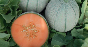 Bayer melon charentais Sugarkech