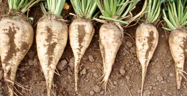 Gharb : Une production record d'1,2 MT de betterave à sucre est attendue