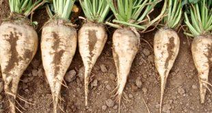 La région de Casablanca-Settat assure 40% de la production nationale de betterave à sucre