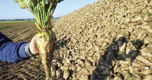 Loukkos: Une production remarquable de betterave à sucre est attendue