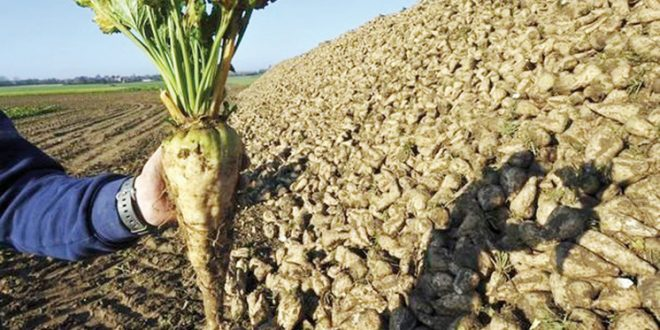 Casablanca-Settat arrache plus de 450.000 tonnes de betteraves à sucre