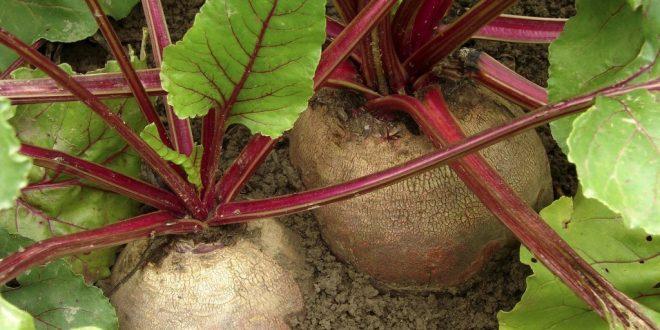 La culture de la betterave potagère au Maroc