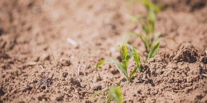 Effet des biostimulants dans la lutte contre la sécheresse