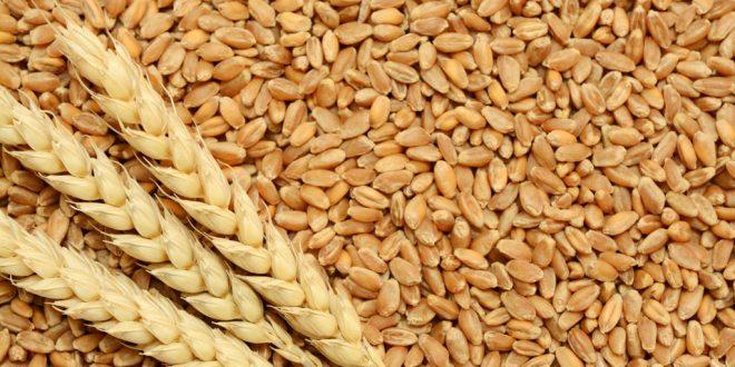 Céréales-La-sécheresse-réduit-la-récolte-de-30-millions-de-quintaux-en-2020