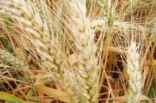 Baisse des droits de douanes des importations de blé tendre