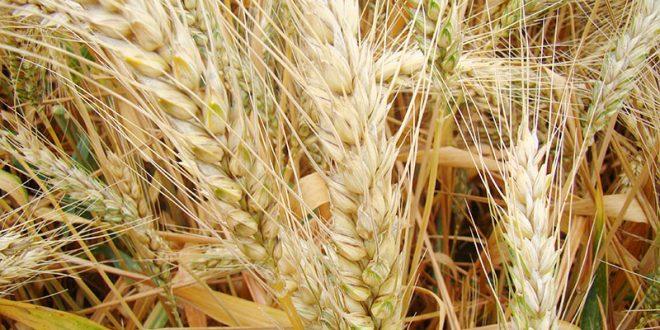 Le Maroc se dirige t-il vers des importations records de blé tendre ?