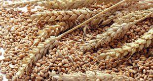 Casablanca-Settat : la superficie emblavée en céréales atteint 841.775 ha