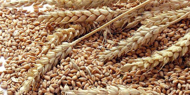 La Covid-19 a profité aux rendements de blé dans plusieurs pays