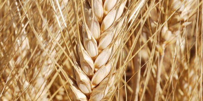 Blé: L'OCP s'allie avec le Ministère de l'agriculture pour aider les producteurs de blé