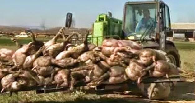 Scandale: des bovins morts mystérieusement introuvables