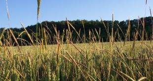 La lutte contre les mauvaises herbes des céréales