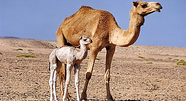 Traitement de plus de 100.000 camelins dans le sud du Maroc