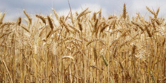 Rabat-Salé-Kénitra mise en place de 531.000 ha de céréales automne