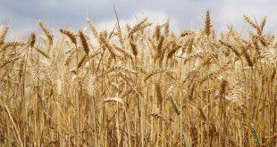 Tanger-Tétouan-Al Hoceima la superficie des céréales atteint 381000 ha