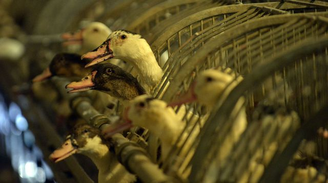 Grippe aviaire: 1 million de canards seront abattus en France