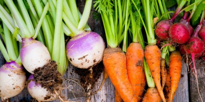 Le Maroc est le premier producteur de carottes et navets en Afrique