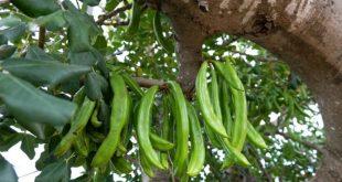 Béni Mellal-Khenifra : la filière du caroubier est en pleine expansion