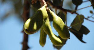 Caroube: Nouvelle usine de valorisation à Khémisset