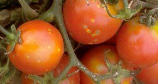Le chancre bactérien de la tomate maladie