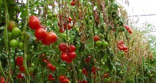 Chancre bactérien de la tomate
