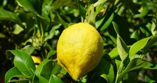 Le citron turque reste autorisé en Russie.