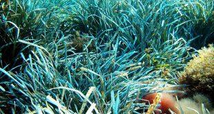compostage Posidonia Oceanica