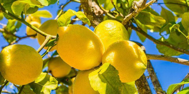 Covid-19-Un-fort-engouement-vers-les-citrons