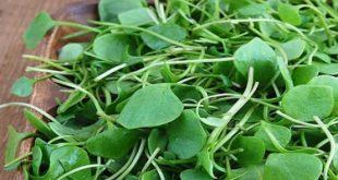 Un composé végétal pourrait réduire les lésions rénales liées au diabète