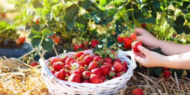 La culture de fruits sauvages peut permettre de lutter contre la perte de biodiversité