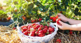 Covid-19-Les-travailleurs-de-la-fraise-fortement-touchés