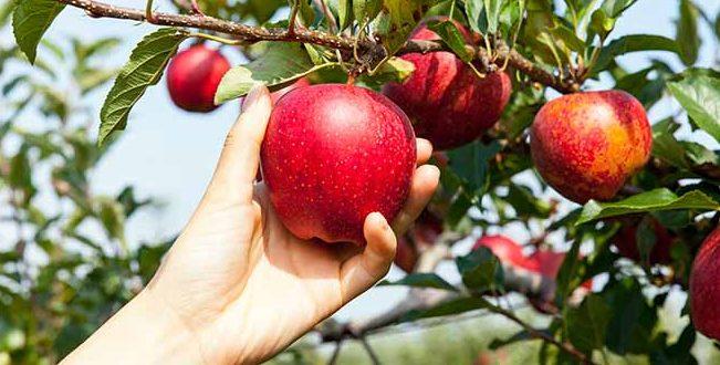 France : absence des saisonniers marocains menace la récolte de pommes