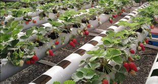 Espagne la filière de la fraise sera convertie à la culture hydroponique