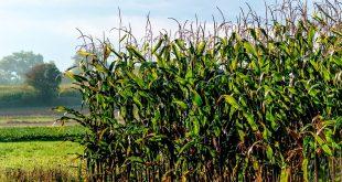 Fiche technique de la culture du maïs