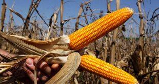 Afrique : La biofortification peut jouer un rôle clé dans la réponse au Covid-19