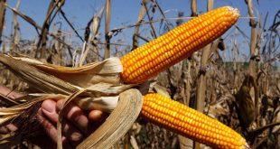 IITA et Bayer s'allient pour améliorer les cultures vivrières en Afrique
