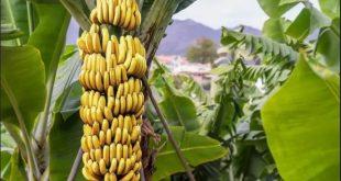 Création emballage biodégradable à partir de déchets de bananier