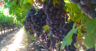 Raisins : Delassus prévoit d'augmenter ses exportations vers l'Allemagne et le Royaume-Uni