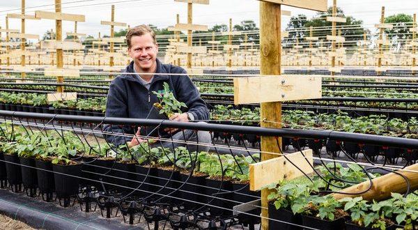 Framboise : Une culture plus élevée pour une production plus saine
