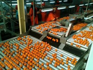 Conditionnement des fruits et légumes pour les exportateurs