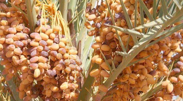 Drâa-Tafilalet : Les prévisions tablent sur une production importante de dattes
